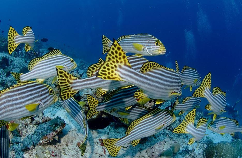 Peces nadando en el arrecife de Sri Lanka