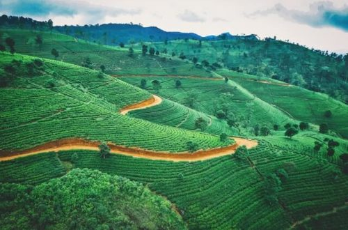 Plantaciones de té Sri Lanka